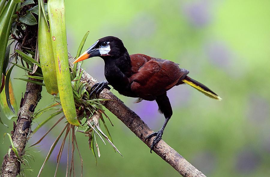 Animal Photograph - Montezuma Oropendola by Nicolas Reusens