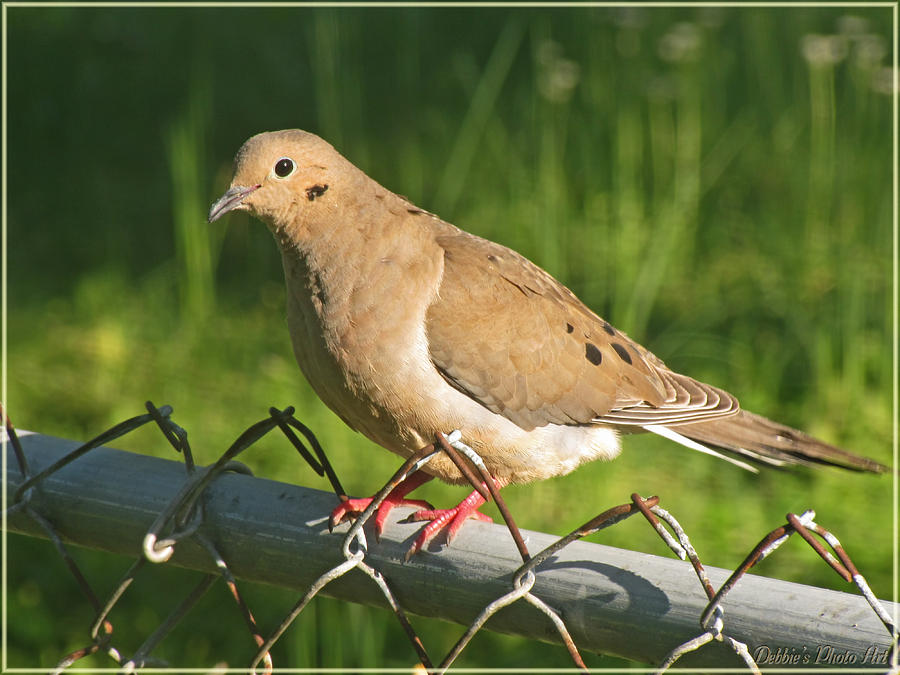 Nature Photograph - Morning Dove I by Debbie Portwood