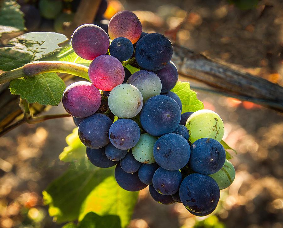 Vineyard Photograph - Mosaic by Jean Noren
