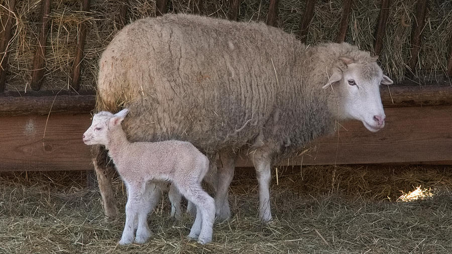 Sheep Photograph - Mother And Child by Arthur Warlick