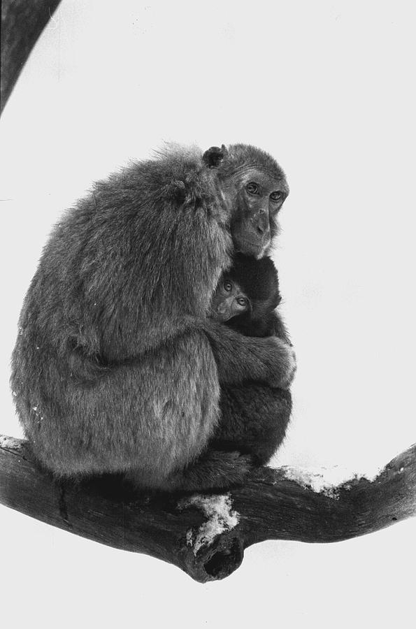 Monkey Photograph - Motherly Love by Retro Images Archive