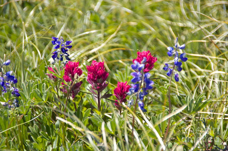 Mount Rainier Wildflowers Photograph