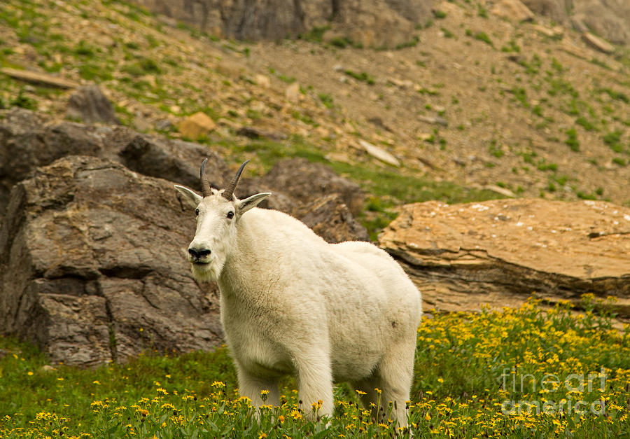 Mountain Goat Photograph - Mountain Goat In Glacier National Park by Natural Focal Point Photography