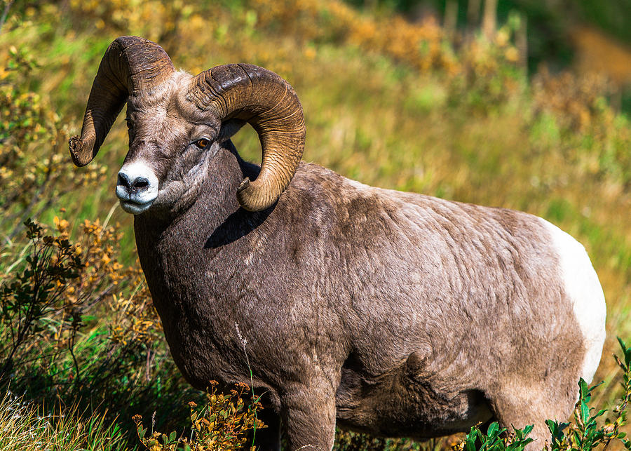 Wildlife Photograph - Mountain Goats  by Rohit Nair