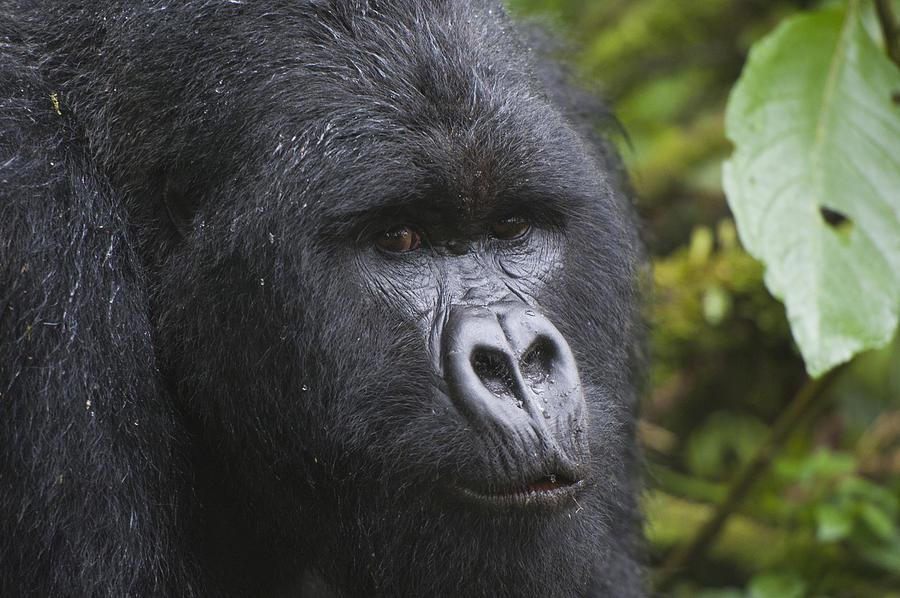 Mountain Gorilla Silverback Rwanda Photograph by D. & E.  Parer-Cook