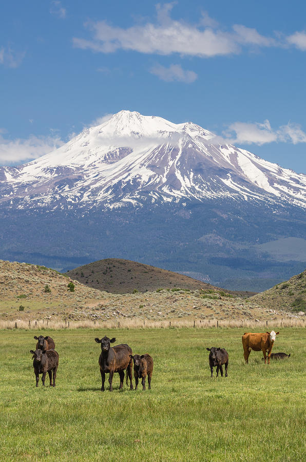 Agriculture Photograph - Mt Shasta Cattle Ranch by John Trax