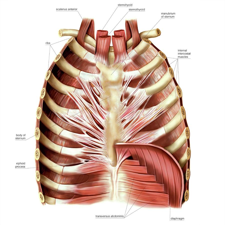 Muscles Of Anterior Thoracic Wall Photograph by Asklepios Medical Atlas
