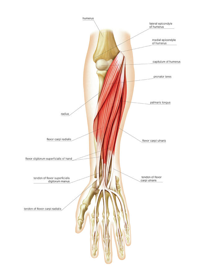 Muscles Of Forearm Photograph By Asklepios Medical Atlas