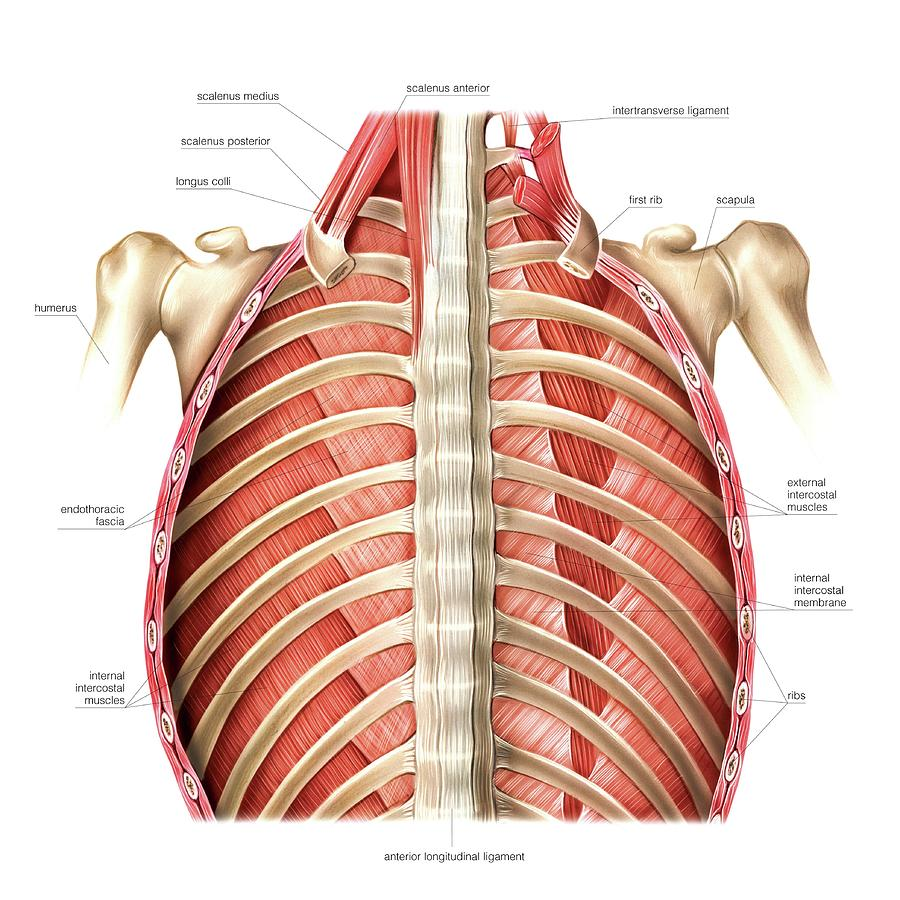 Muscles Of Posterior Thoracic Wall Photograph by Asklepios Medical Atlas