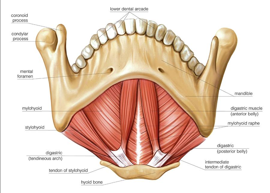 Floor Of Mouth Anatomy Of Muscles Of The Floor Of Mouth Photograph By Asklepios