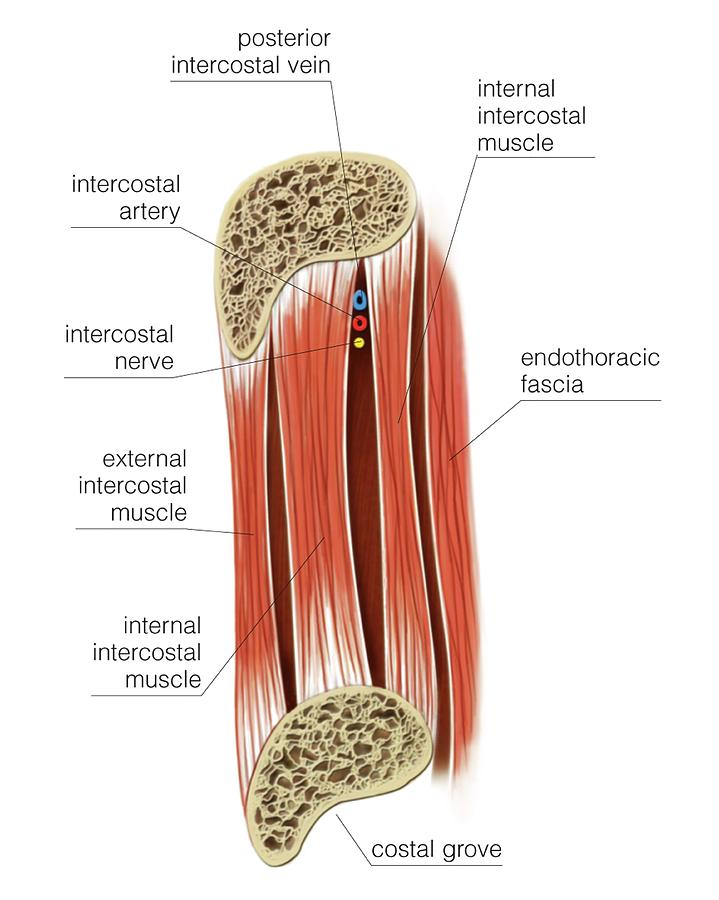 Muscles Of Thoracic Wall Photograph by Asklepios Medical Atlas