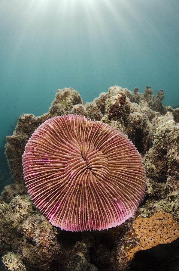 Mushroom Coral Fiji Photograph by Pete Oxford