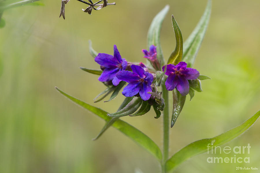 Bulgaria Photograph - Purple Gromwell by Jivko Nakev