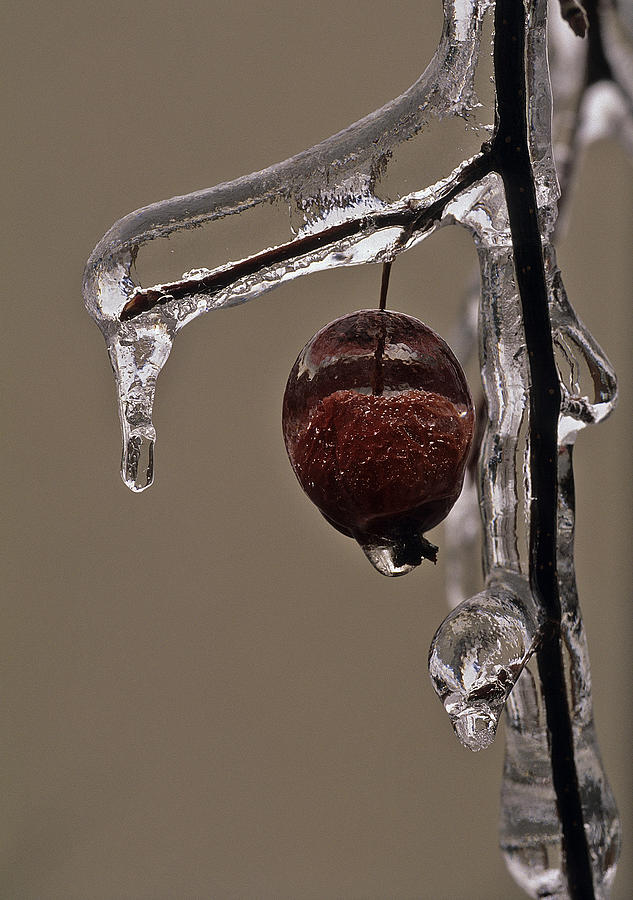 Ice Photograph - Natures Candy Apple by Tony Beck