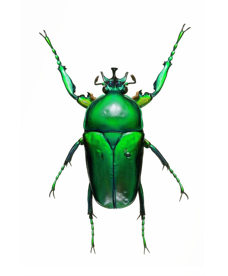 Animal Photograph - Neptunides Flower Beetle by Lawrence Lawry