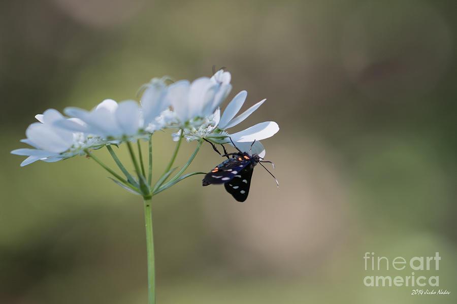 Arctiidae Photograph - Nine-spotted Moth by Jivko Nakev