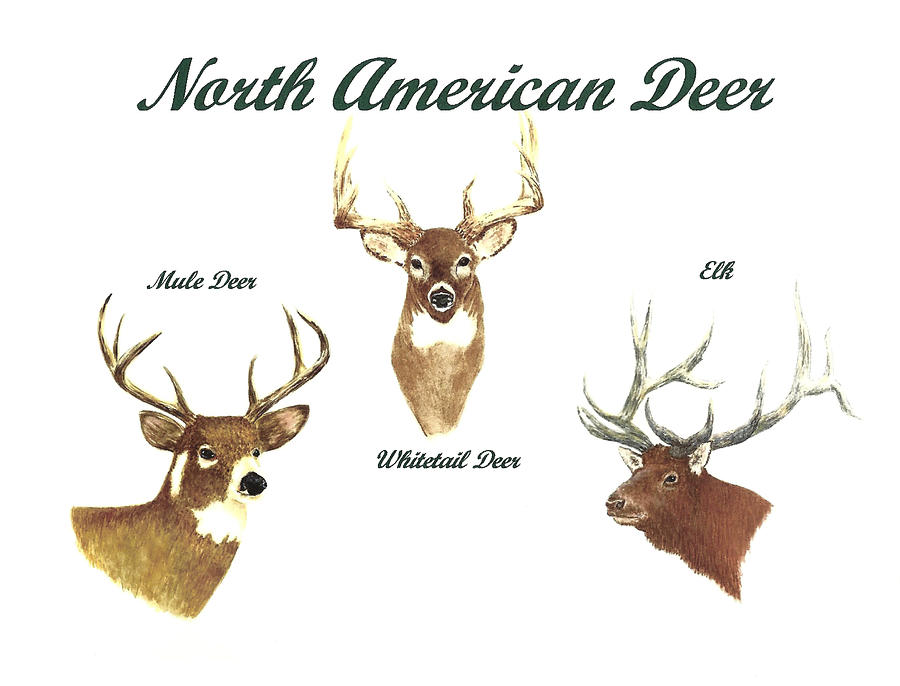 Animals Painting - North American Deer Number 2 by Michael Vigliotti