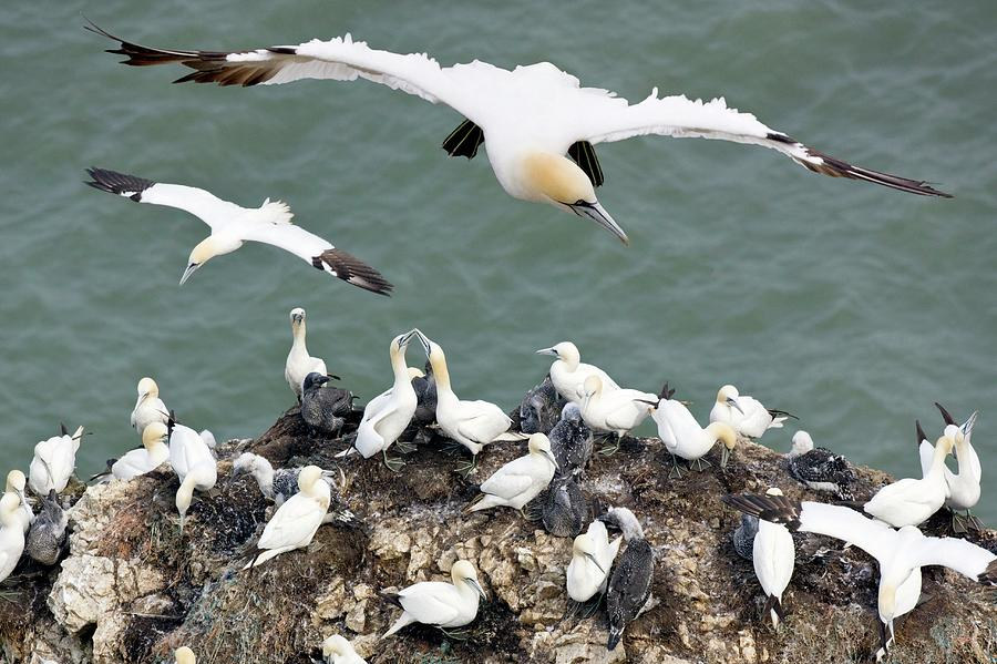 Morus Bassanus Photograph - Northern Gannet Colony by Steve Allen/science Photo Library