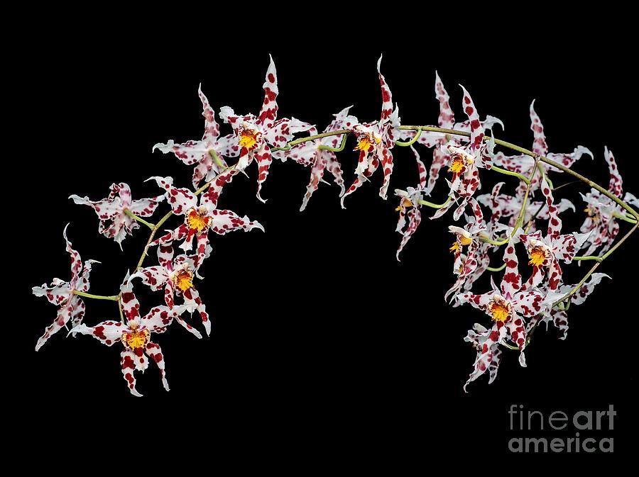 Orchid Photograph - Odontoglossum X Andersonianum by Geoff Kidd