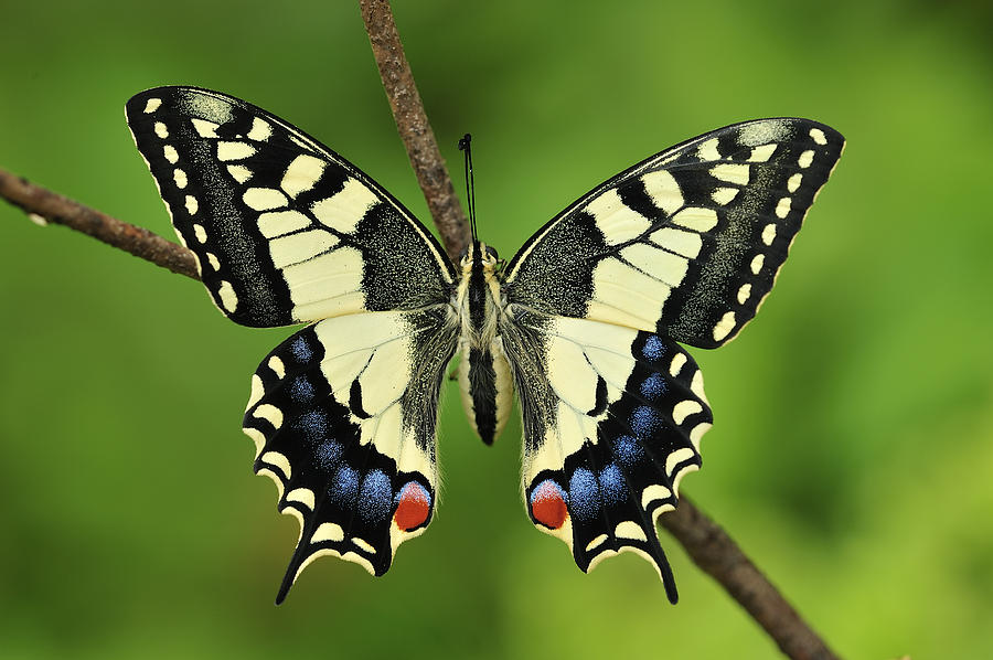 Oldworld Swallowtail Butterfly Photograph by Thomas Marent