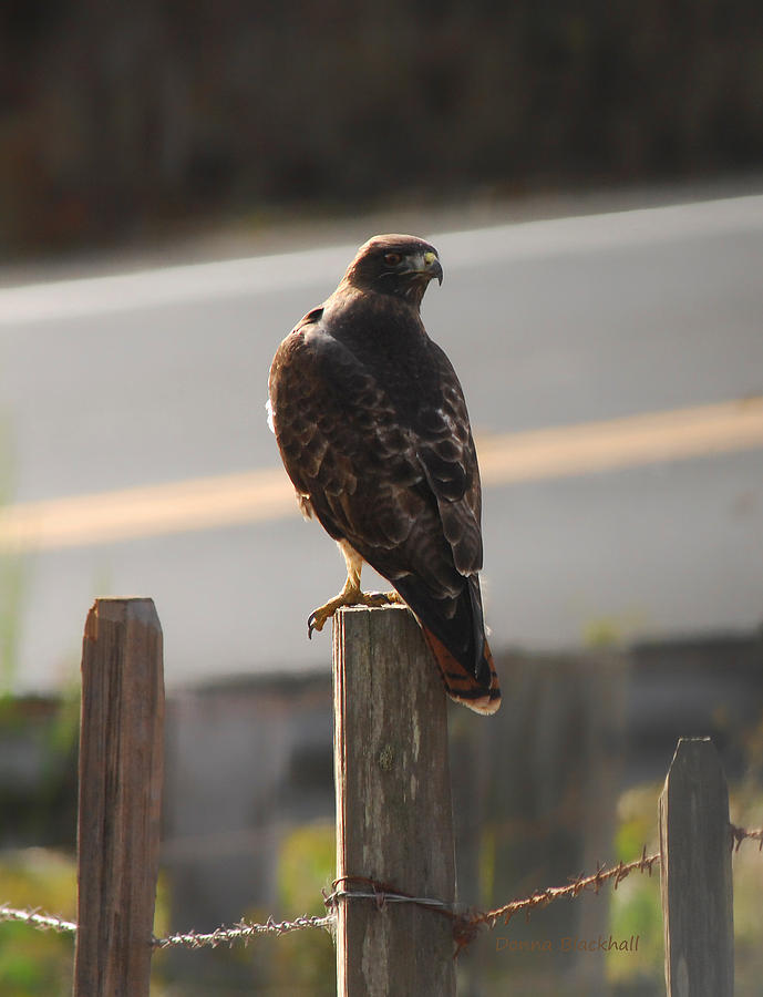 Hawk Photograph - On The Lookout 1 by Donna Blackhall