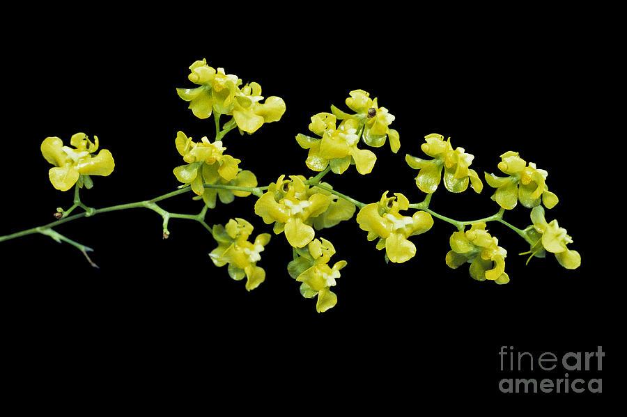Orchid Photograph - Oncidium Cheirophorum by Geoff Kidd