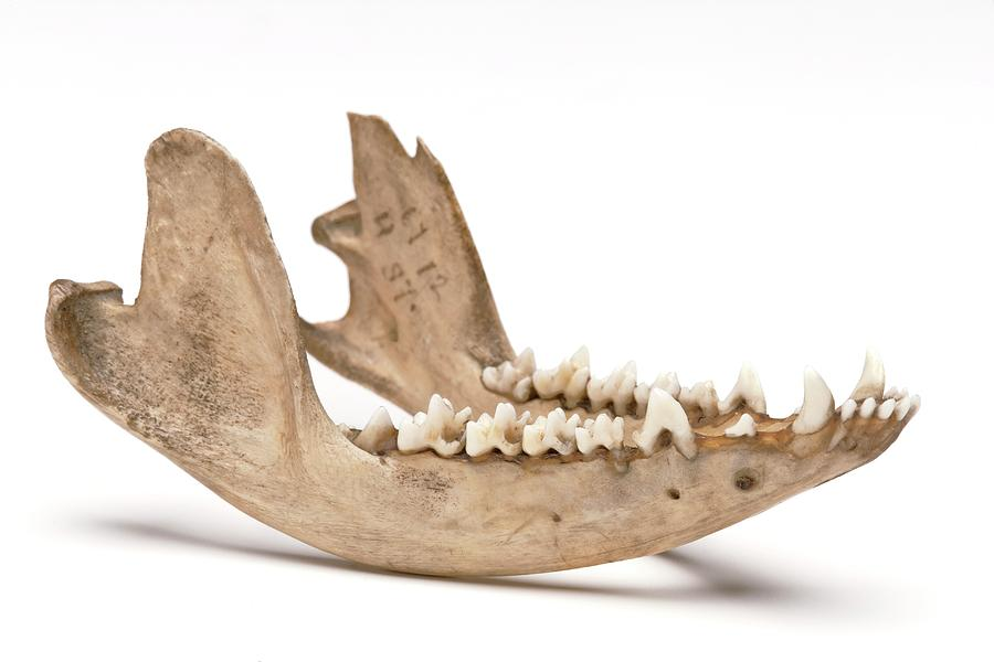 Opossum Jawbone Photograph By Ucl Grant Museum Of Zoology