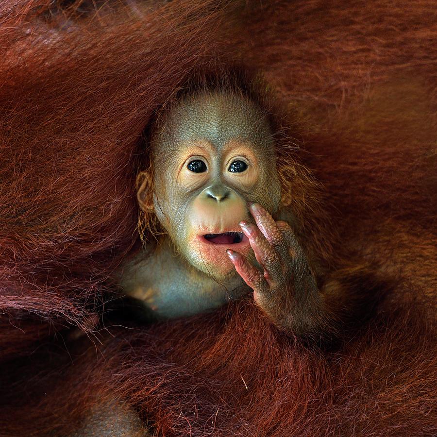 Orang Utan Photograph by By Toonman