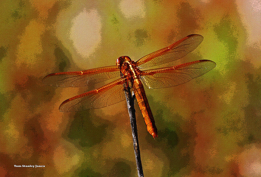 Orange Dragonfly Photograph - Orange Dragonfly by Tom Janca
