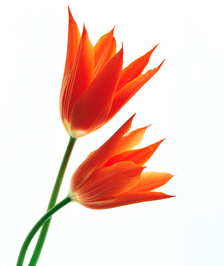 Orange Flowers Against White Background Photograph By