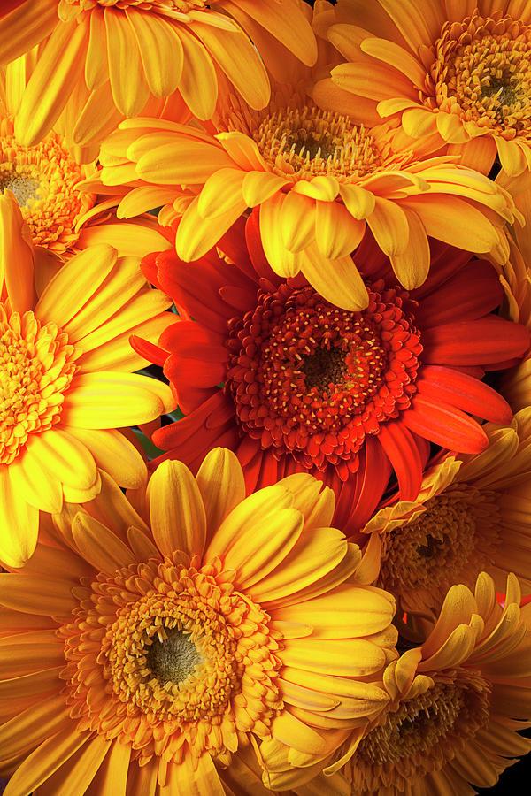 Orange Gerbera Among Yellow Ones Photograph by Garry Gay