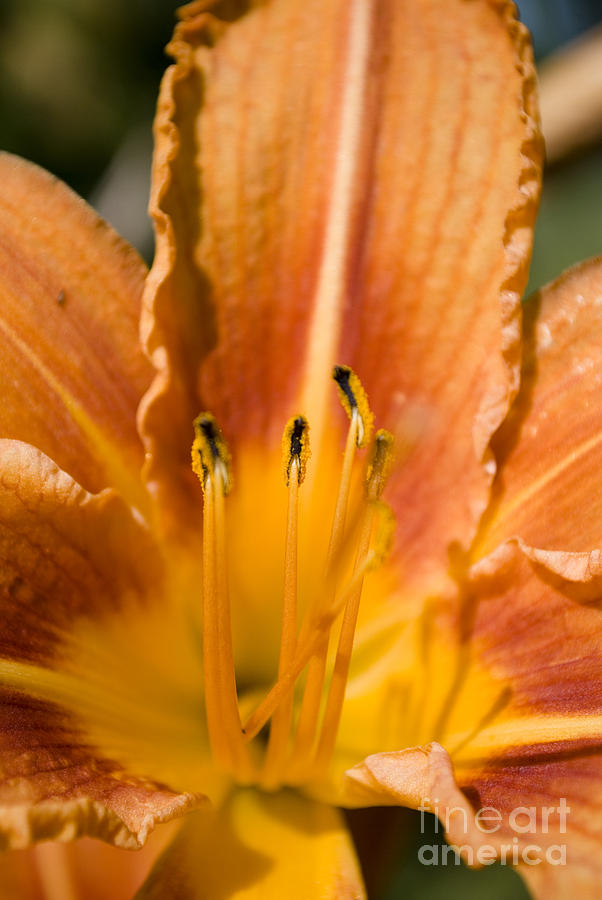 Orange Lily Photograph by Sarka Olehlova