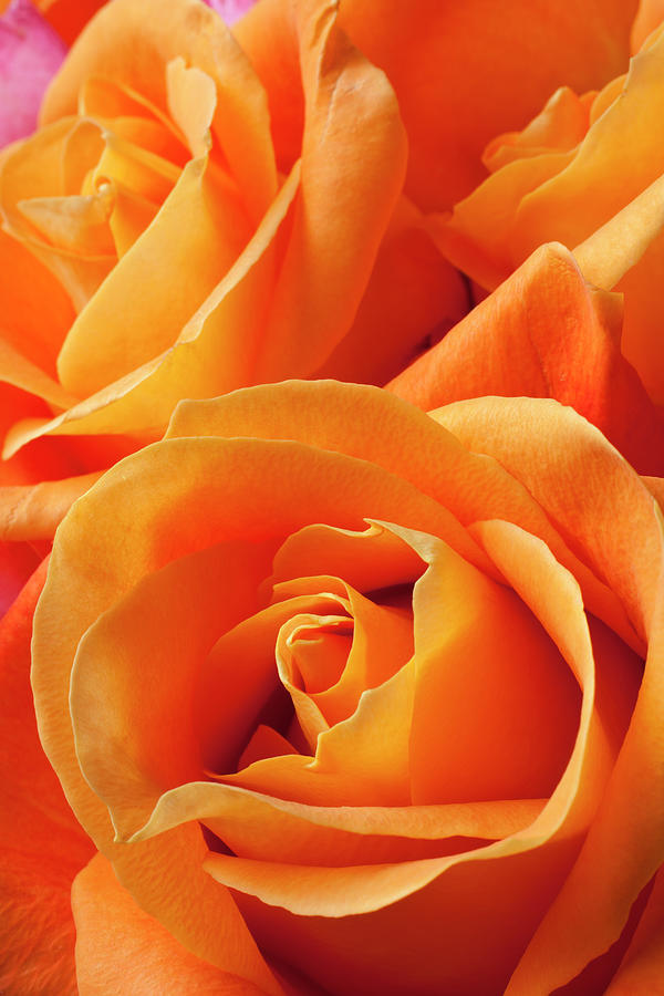 Orange Roses Photograph by Garry Gay