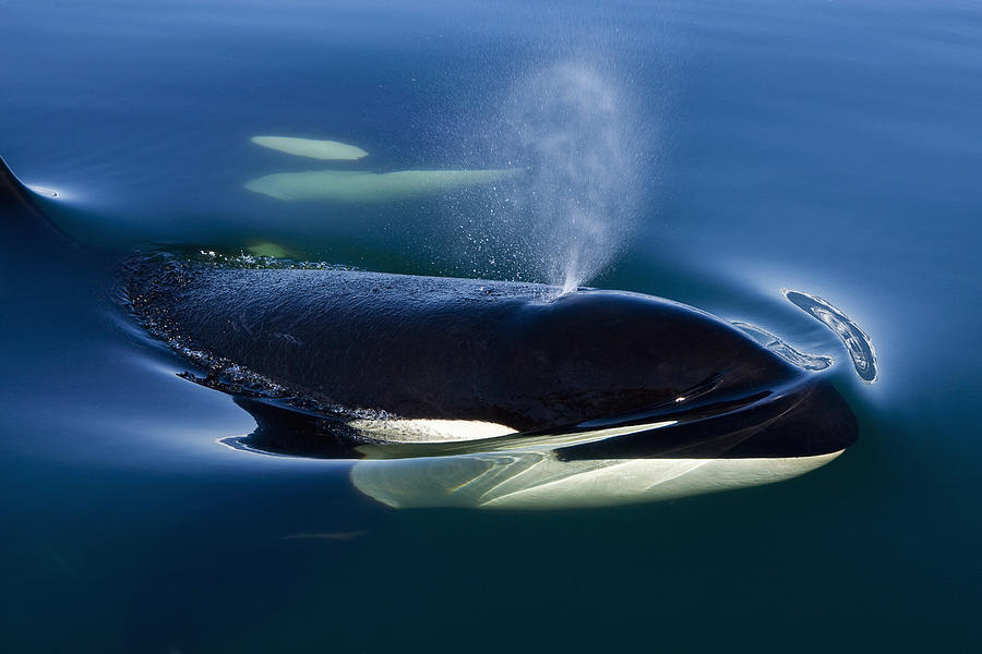 Hyde Photograph - Orca Whale Surfaces In Lynn Canal by John Hyde