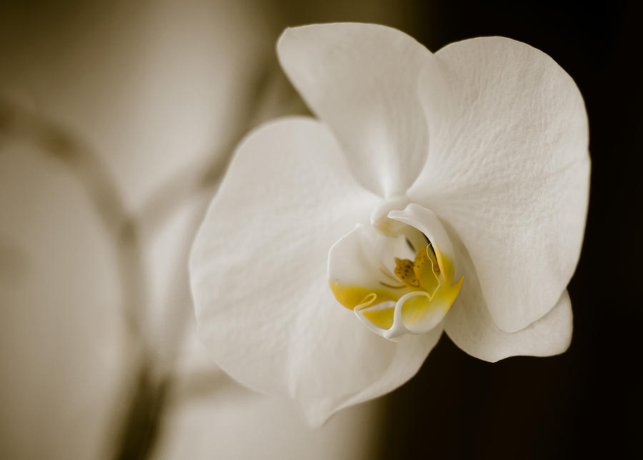 Orchid Photograph - Orchid by Ivelin Donchev