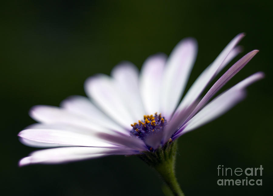 Osteospermum Photograph - Osteospermum Daisy by Tony Cordoza