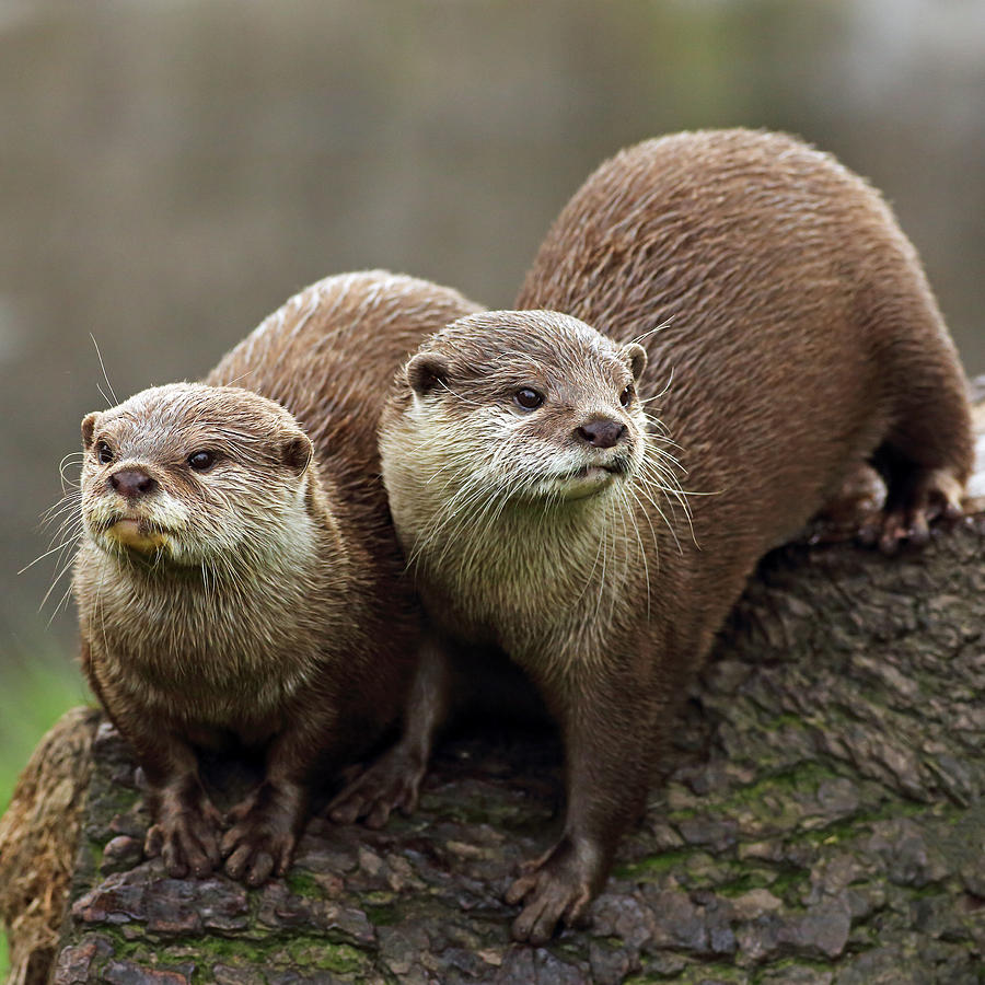 Otters Photograph