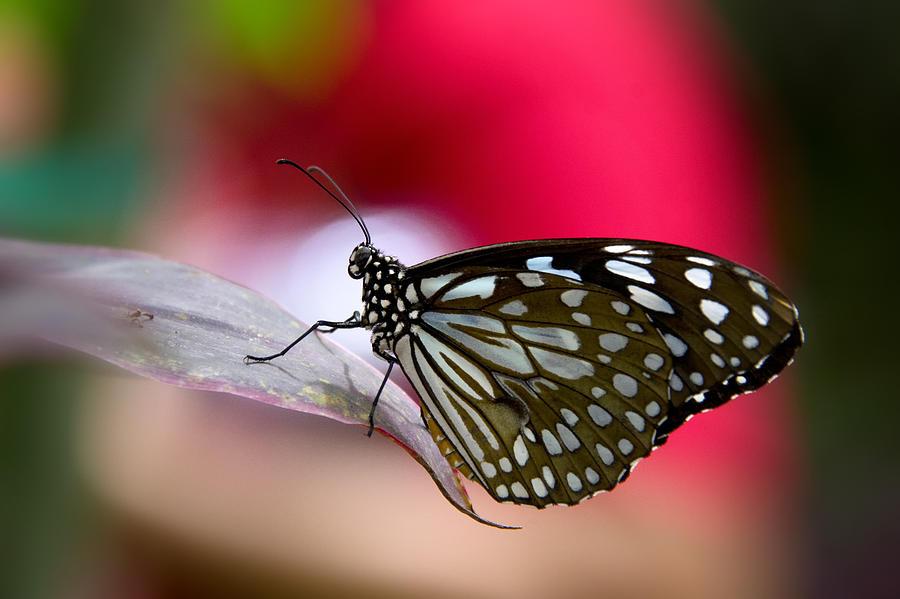 Paper Kite Butterfly Photograph - Paper Kite Butterfly  by Saija  Lehtonen