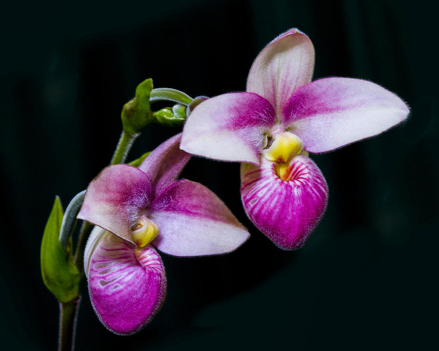 Close Up Photograph - Paphiopedilum Hybrid  by Gerald Murray Photography