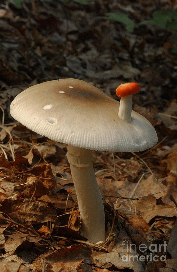 Nature Photograph - Parasol Mushroom Macrolepiota Sp by Susan Leavines