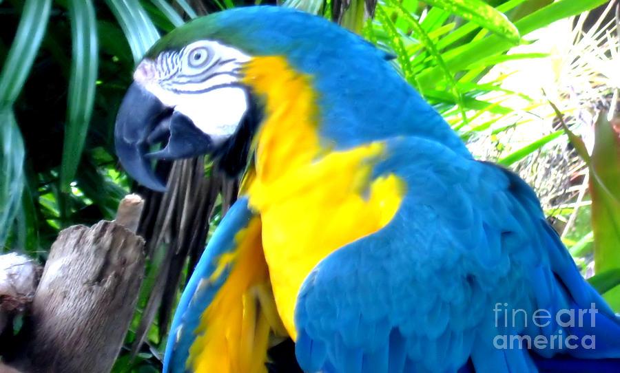 Blue Yellow Macaw Photograph - Blue Yellow Macaw. Parrot. Photo Of Bird by Oksana Semenchenko