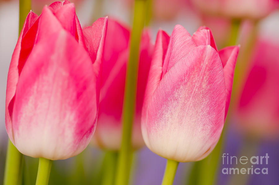 Oregon Photograph - Passionate Pink by Nick  Boren