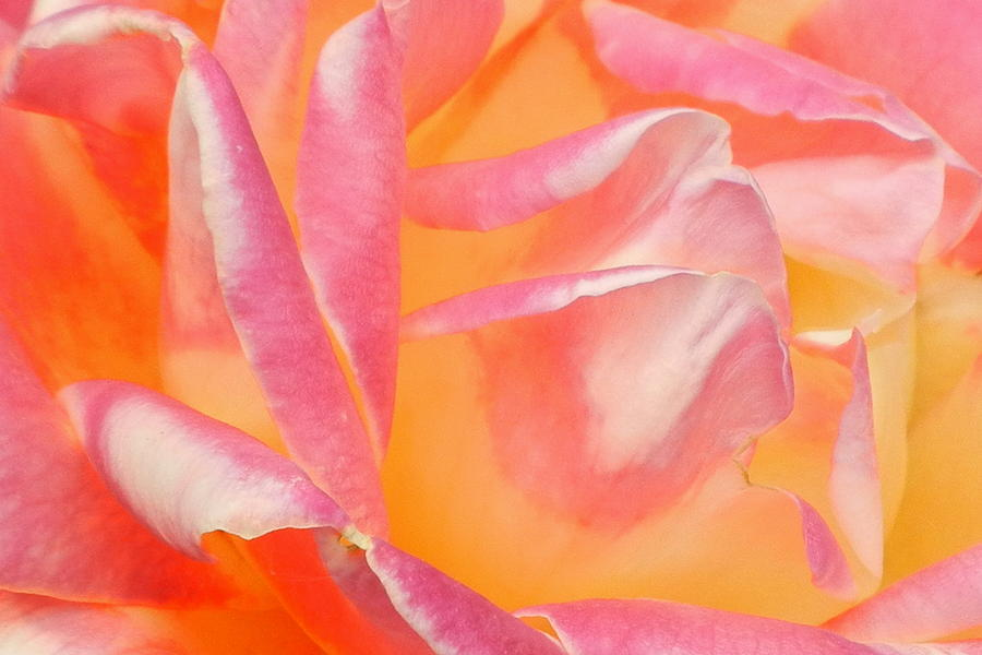 Roses Photograph - Peachy Pink Rose by Virginia Forbes