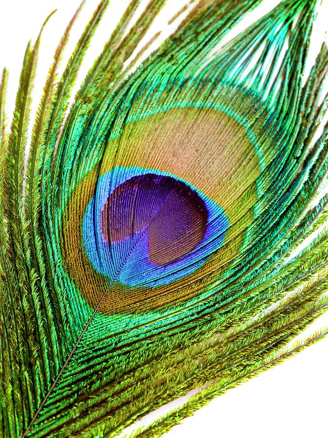 Attraction Photograph - Peacock Feather by Science Photo Library