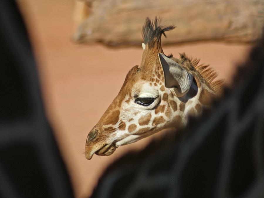 Animals Photograph - Peek A Boo by Ernie Echols