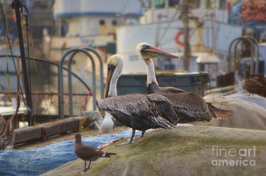 Pelican Photograph - Pelican Duo by Donna Greene