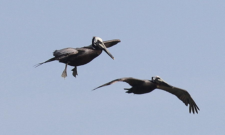 Pelican Photograph - Pelicans In Flight 2 by Cathy Lindsey