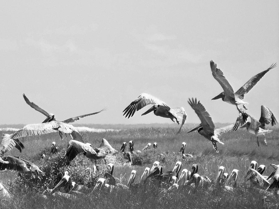 Pelicans Photograph - Pelicans by Thomas Leon