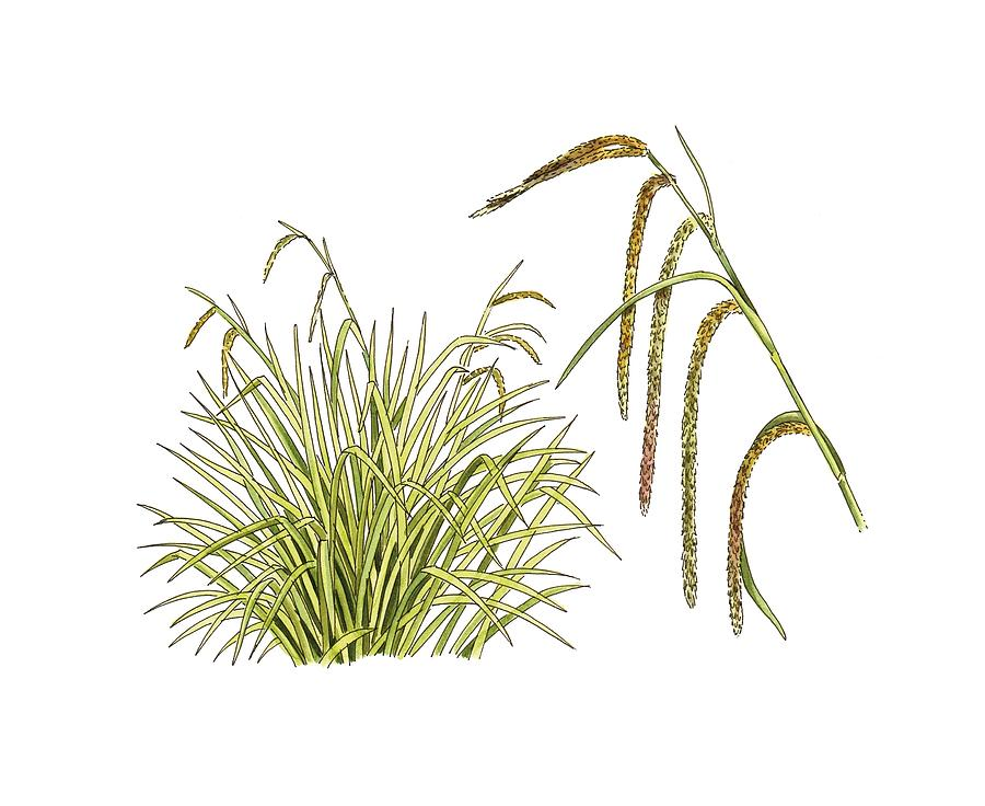 Cutout Photograph - Pendulous Sedge (carex Pendula) by Science Photo Library
