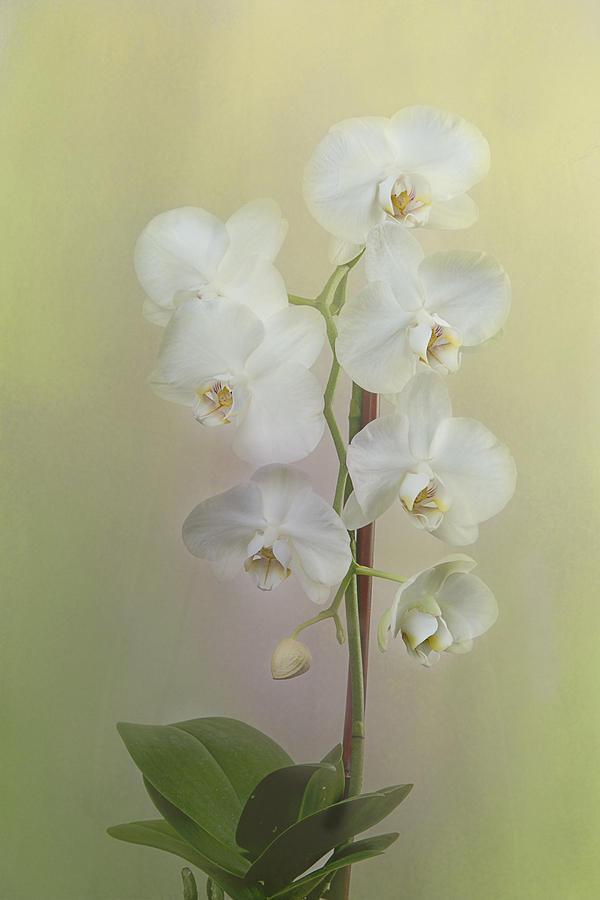 Phalaenopsis Photograph - Phalaenopsis by Carol Erikson